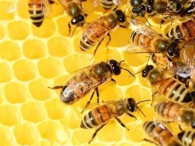 الگوریتم زنبور عسل
